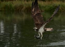 osprey-hide-rutland-copyright-photographers-on-safari-com-9611