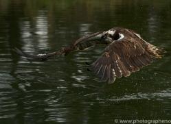osprey-hide-rutland-copyright-photographers-on-safari-com-9612