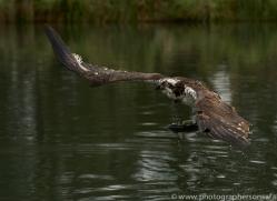 osprey-hide-rutland-copyright-photographers-on-safari-com-9614