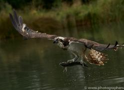 osprey-hide-rutland-copyright-photographers-on-safari-com-9616