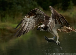 osprey-hide-rutland-copyright-photographers-on-safari-com-9617