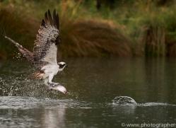 osprey-hide-rutland-copyright-photographers-on-safari-com-9620