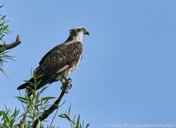 osprey-hide-rutland-copyright-photographers-on-safari-com-9621
