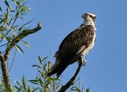 osprey-hide-rutland-copyright-photographers-on-safari-com-9622