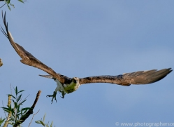 osprey-hide-rutland-copyright-photographers-on-safari-com-9623
