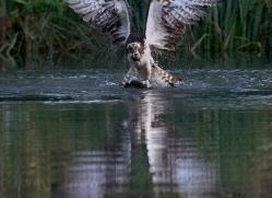 osprey-hide-rutland-copyright-photographers-on-safari-com-9624