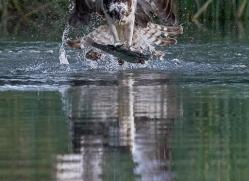 osprey-hide-rutland-copyright-photographers-on-safari-com-9626