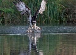 osprey-hide-rutland-copyright-photographers-on-safari-com-9630