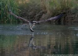 osprey-hide-rutland-copyright-photographers-on-safari-com-9639