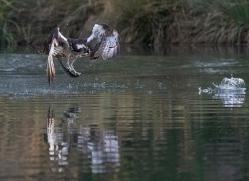 osprey-hide-rutland-copyright-photographers-on-safari-com-9640