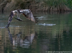 osprey-hide-rutland-copyright-photographers-on-safari-com-9642