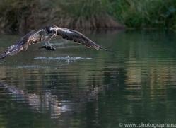 osprey-hide-rutland-copyright-photographers-on-safari-com-9644
