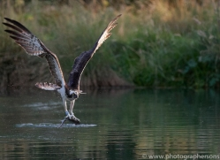 osprey-hide-rutland-copyright-photographers-on-safari-com-9645