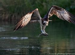 osprey-hide-rutland-copyright-photographers-on-safari-com-9647