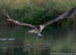 osprey-hide-rutland-copyright-photographers-on-safari-com-9648