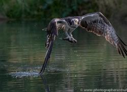 osprey-hide-rutland-copyright-photographers-on-safari-com-9649