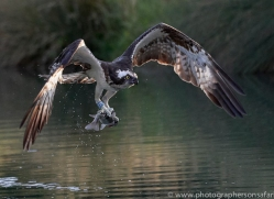 osprey-hide-rutland-copyright-photographers-on-safari-com-9654