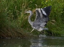 osprey-hide-rutland-grey-heron-copyright-photographers-on-safari-com-9656