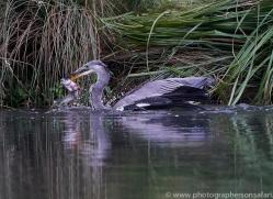 osprey-hide-rutland-grey-heron-copyright-photographers-on-safari-com-9657