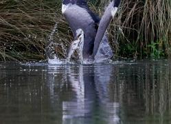 osprey-hide-rutland-grey-heron-copyright-photographers-on-safari-com-9661