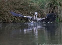 osprey-hide-rutland-grey-heron-copyright-photographers-on-safari-com-9662