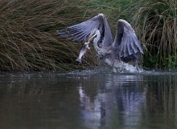 osprey-hide-rutland-grey-heron-copyright-photographers-on-safari-com-9663