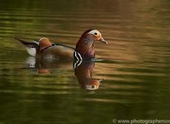 osprey-hide-rutland-mandarin-copyright-photographers-on-safari-com-9583