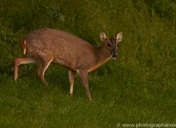osprey-hide-rutland-muntjac-copyright-photographers-on-safari-com-9586