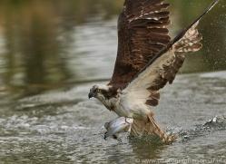osprey-hide-rutland-copyright-photographers-on-safari-com-9458