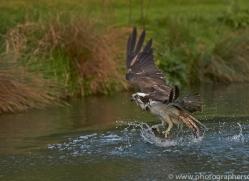osprey-hide-rutland-copyright-photographers-on-safari-com-9459