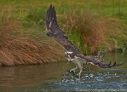 osprey-hide-rutland-copyright-photographers-on-safari-com-9461