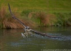 osprey-hide-rutland-copyright-photographers-on-safari-com-9464