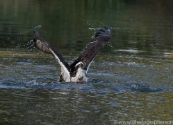 osprey-hide-rutland-copyright-photographers-on-safari-com-9465