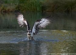 osprey-hide-rutland-copyright-photographers-on-safari-com-9467