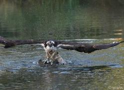 osprey-hide-rutland-copyright-photographers-on-safari-com-9468