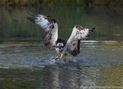 osprey-hide-rutland-copyright-photographers-on-safari-com-9469