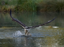 osprey-hide-rutland-copyright-photographers-on-safari-com-9470