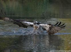 osprey-hide-rutland-copyright-photographers-on-safari-com-9471