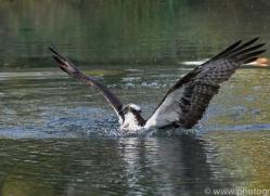 osprey-hide-rutland-copyright-photographers-on-safari-com-9473