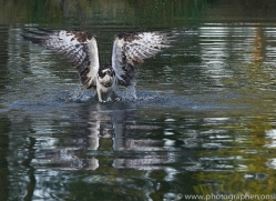 osprey-hide-rutland-copyright-photographers-on-safari-com-9481