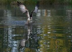 osprey-hide-rutland-copyright-photographers-on-safari-com-9487