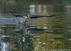 osprey-hide-rutland-copyright-photographers-on-safari-com-9489