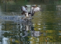 osprey-hide-rutland-copyright-photographers-on-safari-com-9490