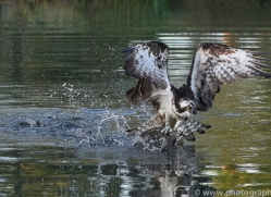 osprey-hide-rutland-copyright-photographers-on-safari-com-9491
