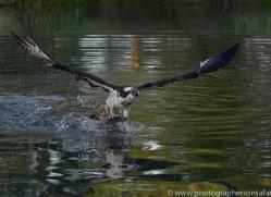 osprey-hide-rutland-copyright-photographers-on-safari-com-9493
