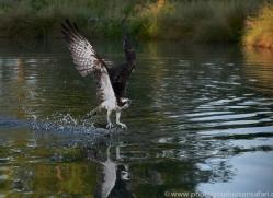 osprey-hide-rutland-copyright-photographers-on-safari-com-9496