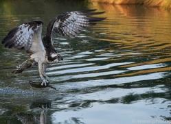 osprey-hide-rutland-copyright-photographers-on-safari-com-9498