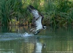 osprey-hide-rutland-copyright-photographers-on-safari-com-9509