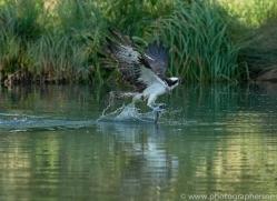 osprey-hide-rutland-copyright-photographers-on-safari-com-9513