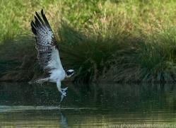osprey-hide-rutland-copyright-photographers-on-safari-com-9516